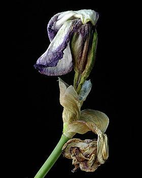 Aging Iris by Art Shimamura