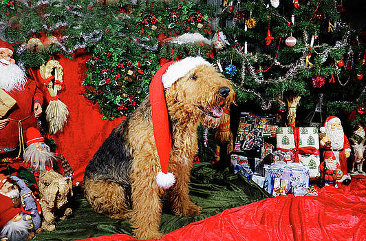 Airedale terrier dressed as santa-claus by Christian Lagereek