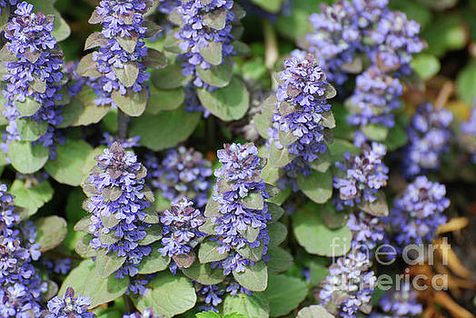 Ajuga Flowers in Bloom by DejaVu Designs