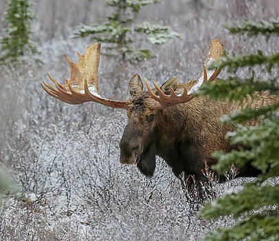 Alaska Yukon Moose by Sam Amato