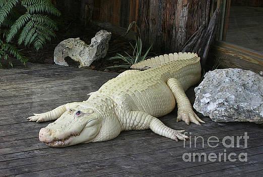 Albino Alligator  by Lynn Jackson