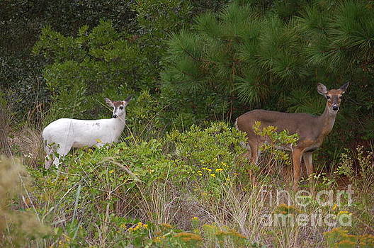 Albino deer with mama by Don Wilhour