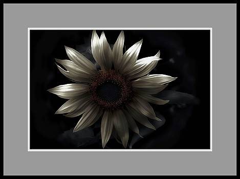 Albino Sunflower by Sherman Perry