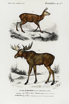 Alces alces and Moschus illustrated by Charles Dessalines by Charles Dessalines D' Orbigny