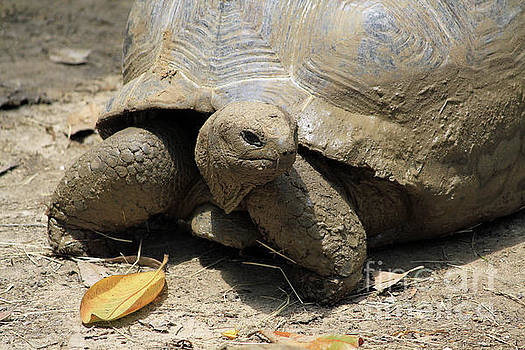Aldabra tortoise by Inspirational Photo Creations Audrey Woods