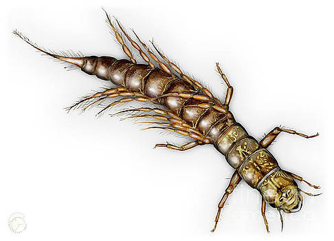 Alderfly Sialis lutaria Larva Nymph -  Sialis de la Vase - Mudde by Urft Valley Art