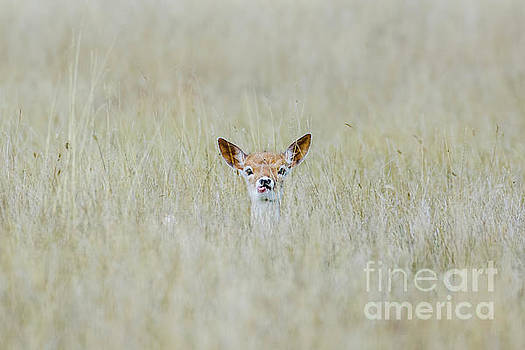 Alert Fallow deer fawn - Dama dama - laying long in the long grass by Paul Farnfield