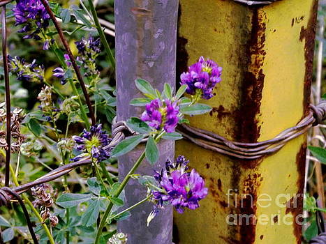 Alfalfa flowers and metal gate by Annie Gibbons