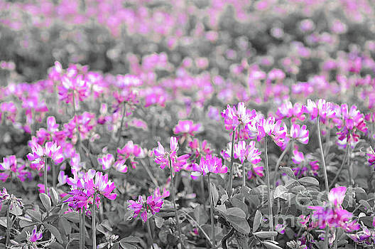 Alfalfa flowers by Delphimages Photo Creations