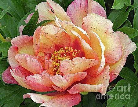Cindy Treger - All Are Unique - Kopper Kettle Peony
