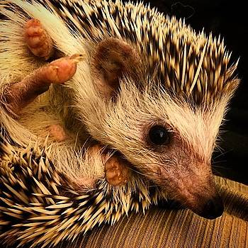 All Smiles Today 😃 #slim #hedgehog by Emily Botelho