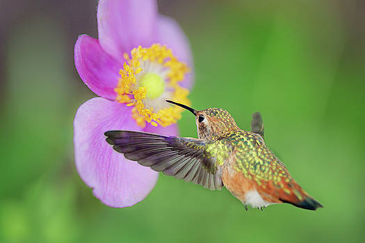 Allens Hummingbird and Anemone by Susan Gary