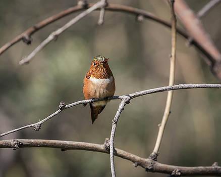 Allen's Hummingbird-IMG_397218 by Rosemary Woods-Desert Rose Images