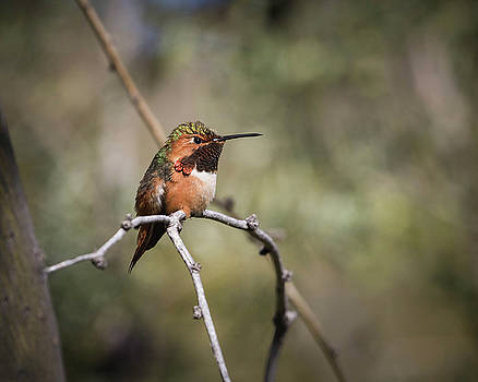 Allen's Hummingbird-IMG_400618 by Rosemary Woods-Desert Rose Images