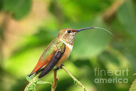 Allen's Hummingbird Tongue by P W