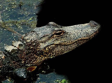 Alligator 6 by David Weeks