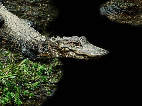 Alligator 7 by David Weeks