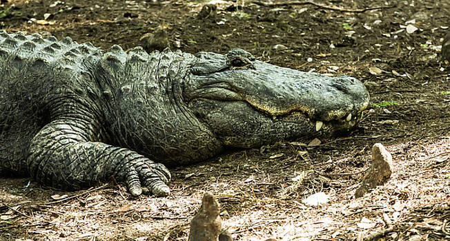 Alligator Lowry Park Zoo 3 by Richard Goldman