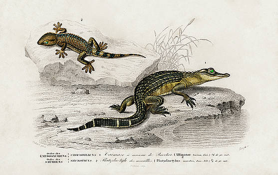 Alligator incius and Lilfordswall lizard by Charles Dessalines D' Orbigny