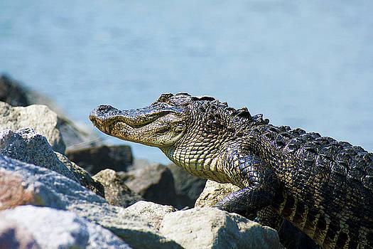 Alligator on Rocks by TJ Baccari