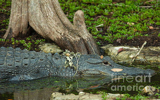 Alligator Reflection by Natural Focal Point Photography