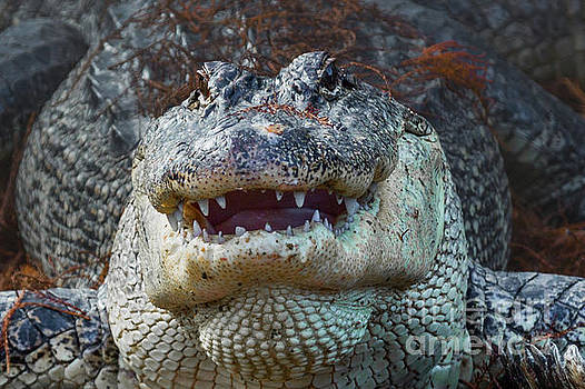 Alligator Smile by Kimberly Blom-Roemer