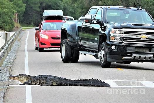 Paulette Thomas - Alligator Traffic Jam