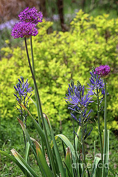 Allium and Camassia by Karen Adams