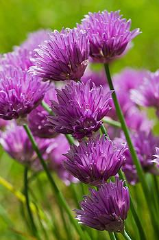 Allium blooms by Pete Hemington