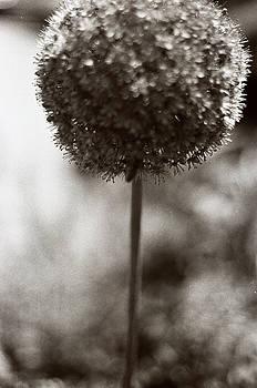 Allium -flowering garlic by Linnea Tober