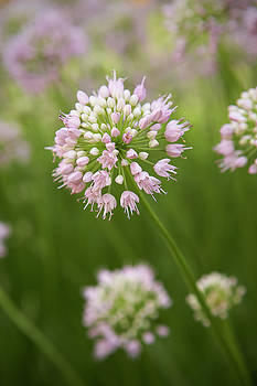 Allium by Garden Gate