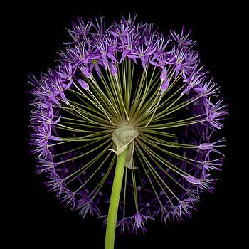 Oscar Gutierrez - Allium Globe