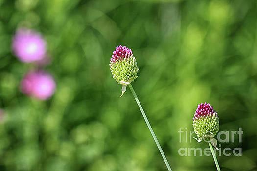 Drumstick Allium  by Karen Adams