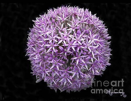 Allium by Mariarosa Rockefeller