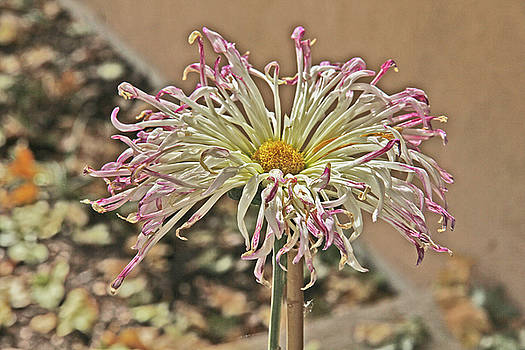 Allium Sunburst Pink/Purple tips on White Petals Yellow Center 2 10232017 Colorado  by David Frederick