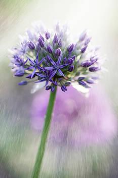 Allium  by Tracy Winter