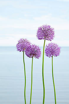 Alliums 2 by Garden Gate