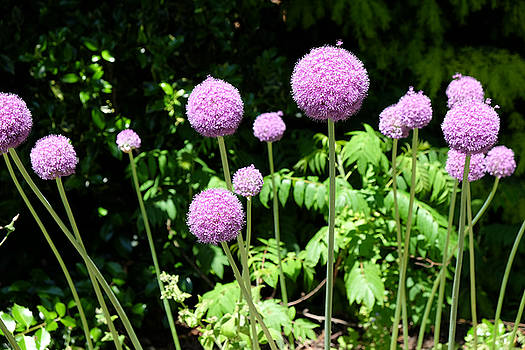Mark Severn - alliums