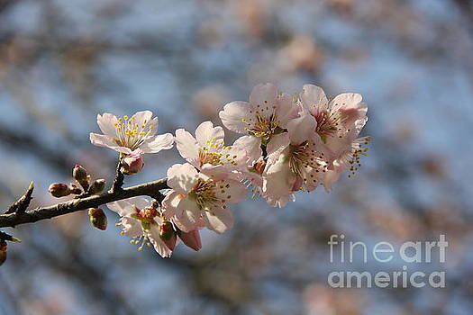 Almond blossom by Jackie Mestrom