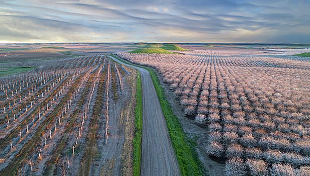Almond Blossom Show by Eric Bjerke Sr