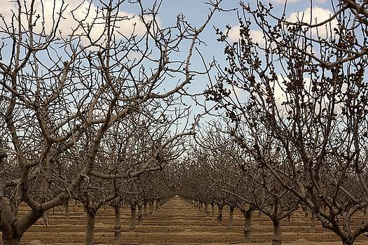 Almond Orchard by Denice Breaux