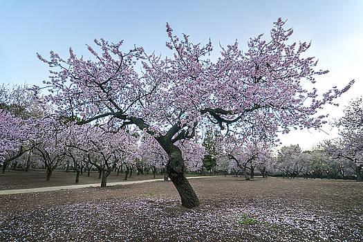 Hernan Bua - Almond Tree