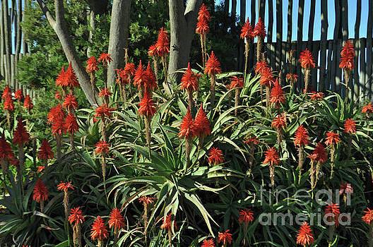 Aloe Choir by Josephine Cohn