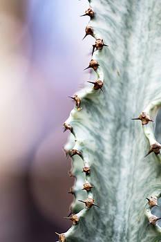Aloe Divaricata in Isola by Tracy Winter