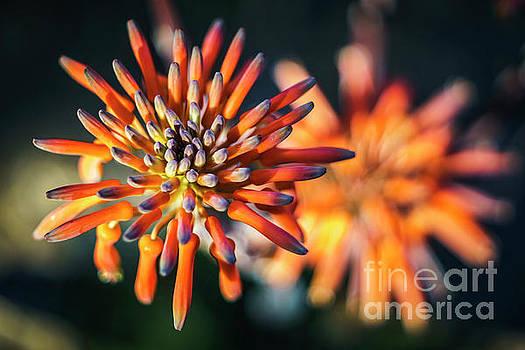 Aloe Vera Flower Genoves Park Cadiz Spain by Pablo Avanzini