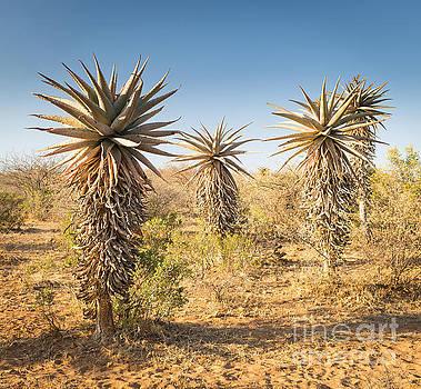Tim Hester - Aloe Vera Trees Botswana