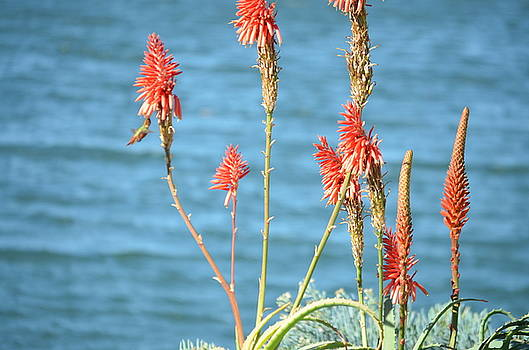Aloes Bloom for Hummingbirds by Kathy Vilim