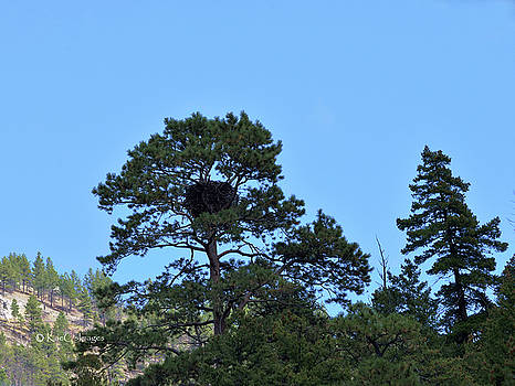 Along the Missouri an Eagle's Nest in Pine Tree by Kae Cheatham