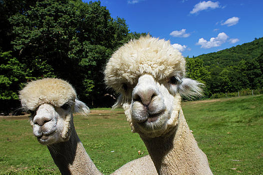 Alpacas at Crescendo Acres Farm, Surry New Hampshire by Skyelyte Photography by Linda Rasch