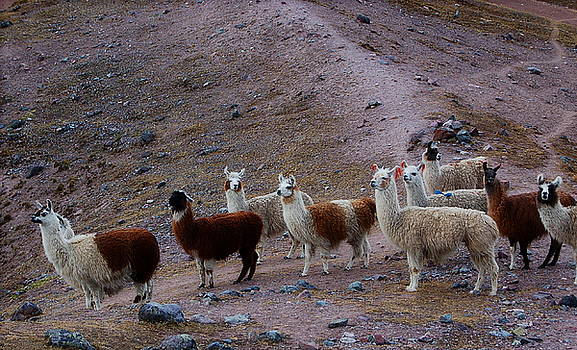 Alpacas on the Trail by Catherine Amsden